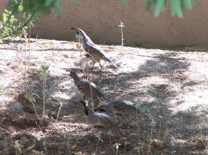 NW quail