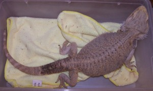 1bearded dragon